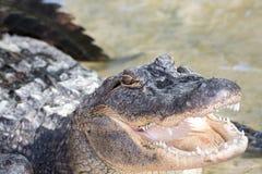 Crocodile d'eau salée photos libres de droits