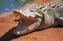 Crocodile d'eau salée avec le moutn ouvert Image libre de droits