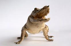 Crocodile d'image avec la fin ouverte de bouche Images stock