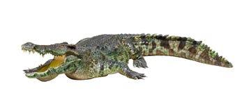 Crocodile d'isolement sur le blanc avec le chemin de découpage Photo libre de droits