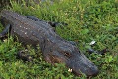 Crocodile daisy and menacing claw Royalty Free Stock Image