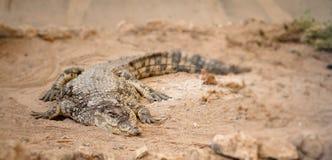 Crocodile dangereux Images libres de droits