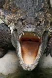 Crocodile dangereux Image stock