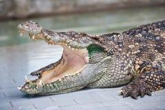 Crocodile dangereux avec la bouche ouverte photo libre de droits