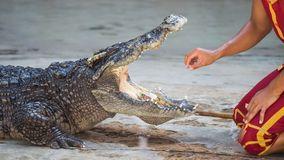 Crocodile dangerous show in Thailand. Crocodile huntsman or trainer showing to grab money bills by hand from big crocodile open mouth. Dangerous and risk show in stock images