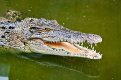 Crocodile dans l'étang vert Image libre de droits