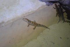 Crocodile dans l'aquarium Photographie stock libre de droits