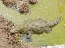 Crocodile dans l'attente Image libre de droits