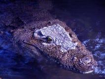 Crocodile dans l'eau Image libre de droits