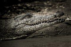 Crocodile dans l'obscurité Images libres de droits