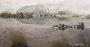 Crocodile dans le terrarium Photographie stock libre de droits