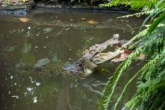 Crocodile dans le zoo tropical d'île de Bali, Indonésie photographie stock