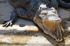 Crocodile dans un zoo Photo libre de droits