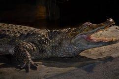 Crocodile dans une cage de zoo image libre de droits