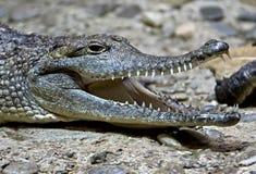 crocodile de 10 Australiens Photo libre de droits