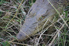 Crocodile de bébé Image libre de droits