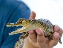 Crocodile de bébé dans Sri Lanka Image libre de droits