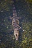 Crocodile de bébé Image stock