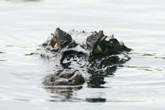 Crocodile de caïman photos stock