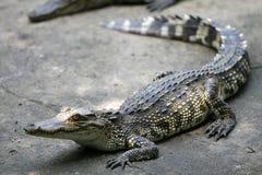 Crocodile de chéri Image libre de droits