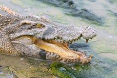 Crocodile de faune dans l'eau Photos libres de droits