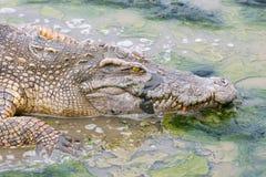 Crocodile de faune dans l'eau Photographie stock