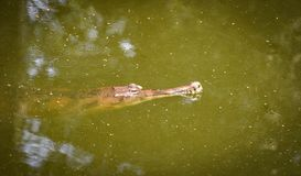 Crocodile de Gavial ou le flottement gharial sur la nature d'étang d'eau photo stock