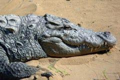 Crocodile de marais Photos stock