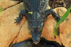 Crocodile de Morelet Images libres de droits