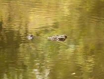 Crocodile de Siiamese Photos stock