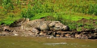 Crocodile de sommeil Photos stock