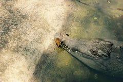 Crocodile de sommeil en Colombie images libres de droits