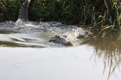 Crocodile diving into the water. Picture taken in Uganda, Murchison Falls National park, during boat trip on the river Nile stock photo