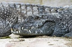 Crocodile du Nil Photo stock