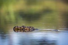 Crocodile du Nil en parc national de Kruger, Afrique du Sud photos libres de droits