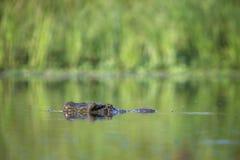 Crocodile du Nil en parc national de Kruger, Afrique du Sud photo stock