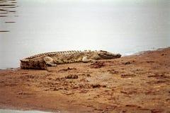 Crocodile du Nil, Maasai Mara Game Reserve, Kenya Photo libre de droits