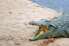 Crocodile du Nil (niloticus de Crocodylus) Images libres de droits