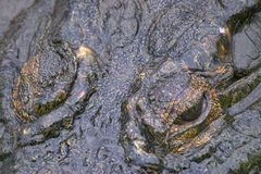 Crocodile du Nil (niloticus de Crocodylus) en parc national de Kruger Images stock