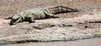 Crocodile du Nil sur le rivage de rivière images libres de droits