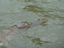 Crocodile E d'eau salée Photos stock