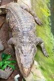 Crocodile on earth Royalty Free Stock Image