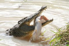 Crocodile eating fish. Crocodile eating barbel fish that it has just caught Stock Photos