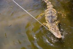 The crocodile eats meat. Feeding crocodiles in Vietnam Royalty Free Stock Photography