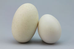 Crocodile egg versus chicken egg Royalty Free Stock Photography