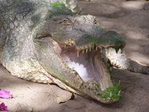 Crocodile en Gambie Photos libres de droits