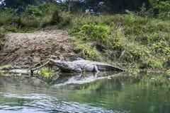 Crocodile en stationnement national royal de Chitwan au Népal photos libres de droits