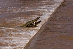 Crocodile et proie Photo libre de droits