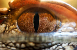 Crocodile Eye Stock Image