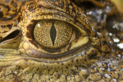 Crocodile eye. Close up of a crocodile eye Stock Image